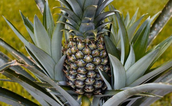 repousser ananas