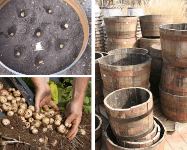 faire pousser des pommes de terre dans un tonneau