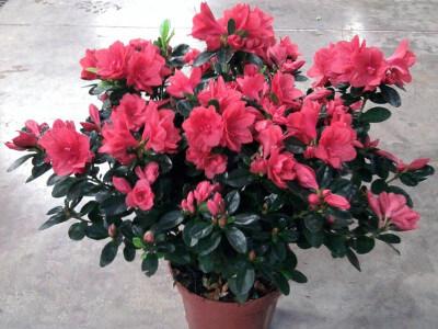 azalee plante depolluante