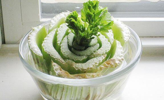 repousser celeri