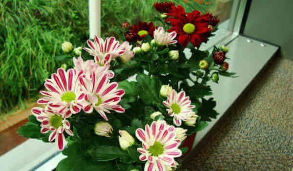 les chrysanthèmes plante depolluante
