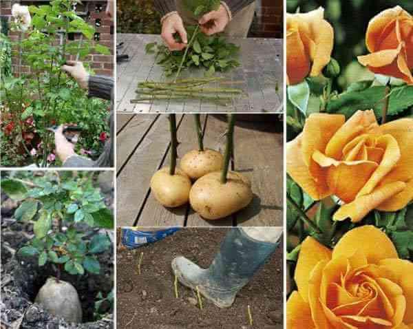 faire pousser rosier avec pomme de terre