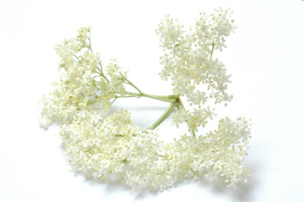 fleurs sureau