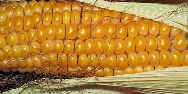 maïs congelé