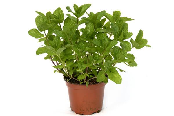 20 rem des naturels anti moustiques efficaces page 2 sur 5 - Cultiver menthe en pot ...