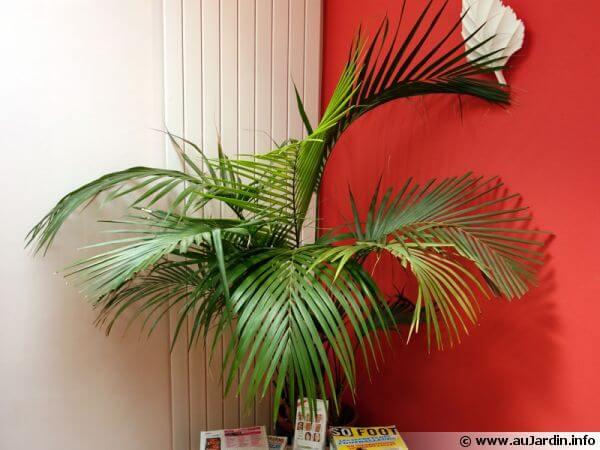 palmier d'intérieur depolluant