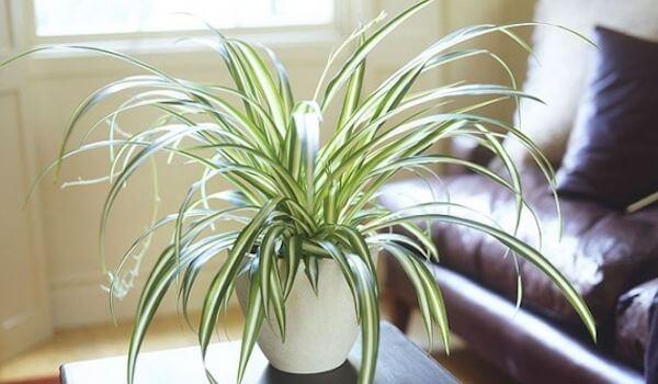 la plante araignée dépolluante