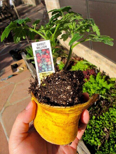banane fertiliser les plans de tomates