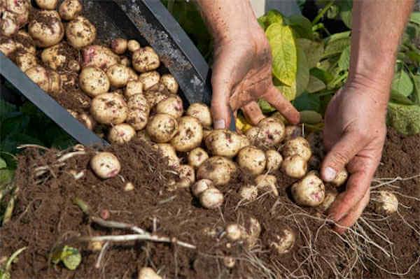 récoltez vos pommes de terre