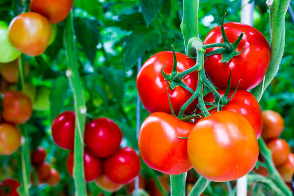 tomate fruit brule graisse