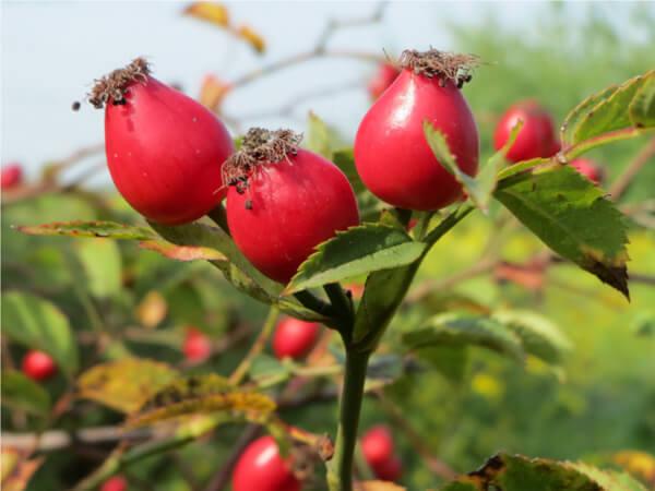 Traitement à base d'huile de rose musquée