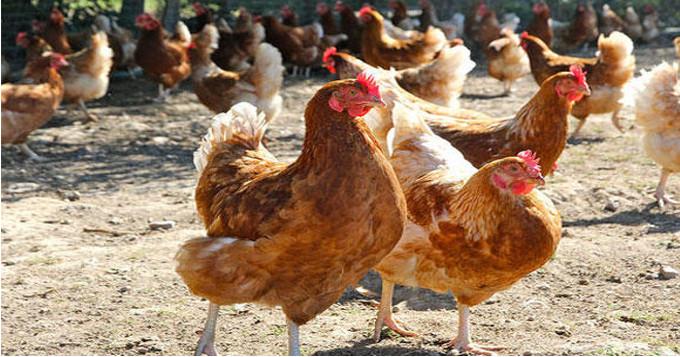 17.Un véritable apport en calcium pour vos poules