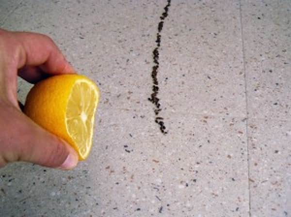 citron sur les fourmis