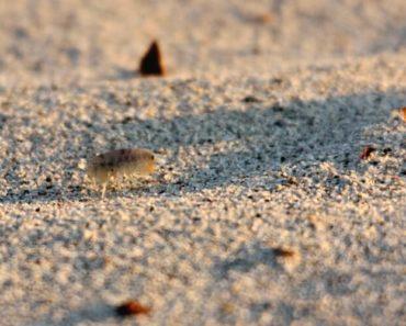 puce de sable