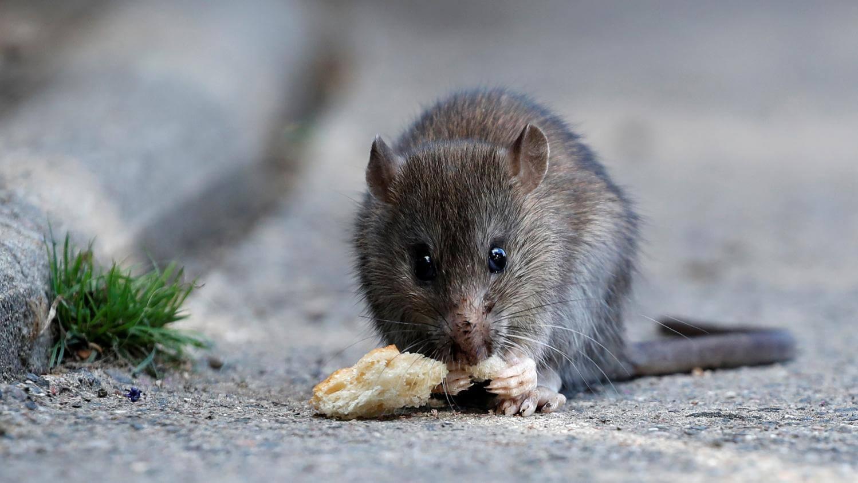 odeur qui fait fuir les rats