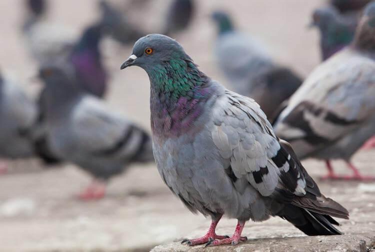 repulsif pigeon