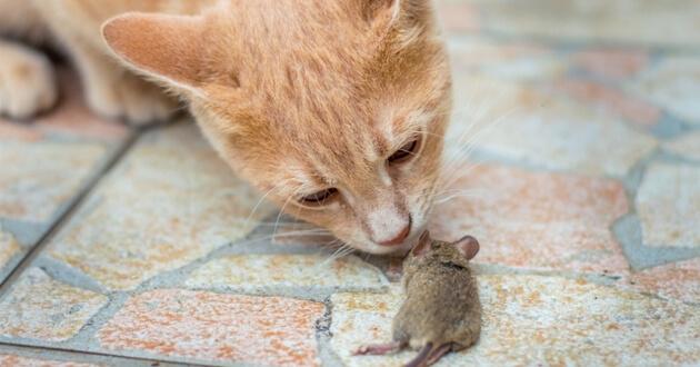 repulsif rat