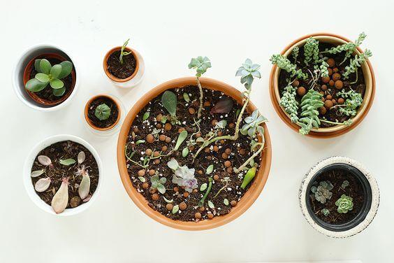 succulentes plantées en pot