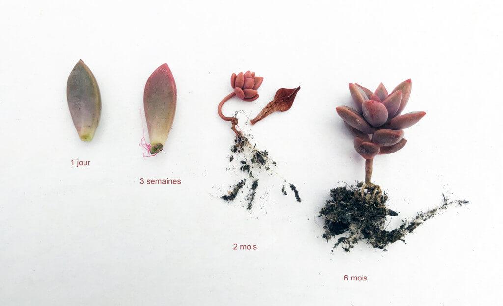 évolution d'une feuille de succulente