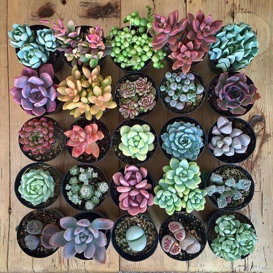 plantes grasses colorées