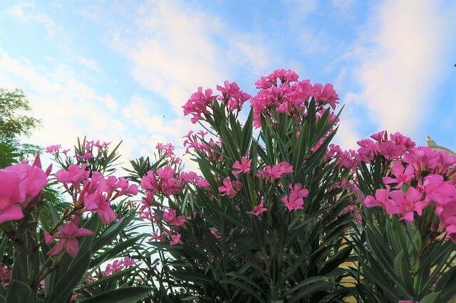 plante-laurier-rose
