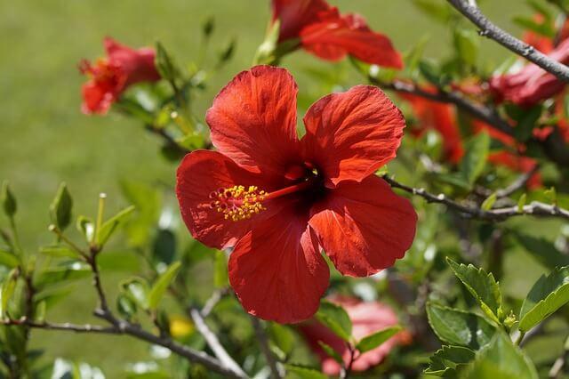 fleur-hibiscus-rouge