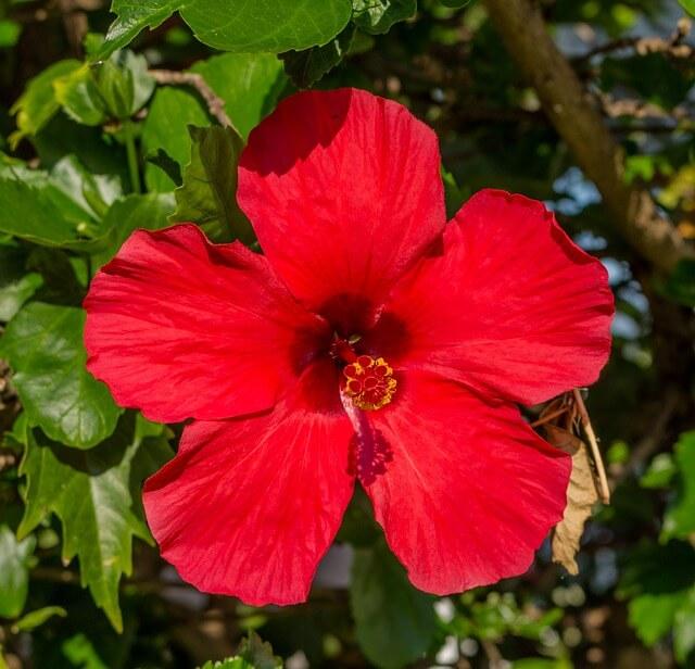fleur-d'hibiscus