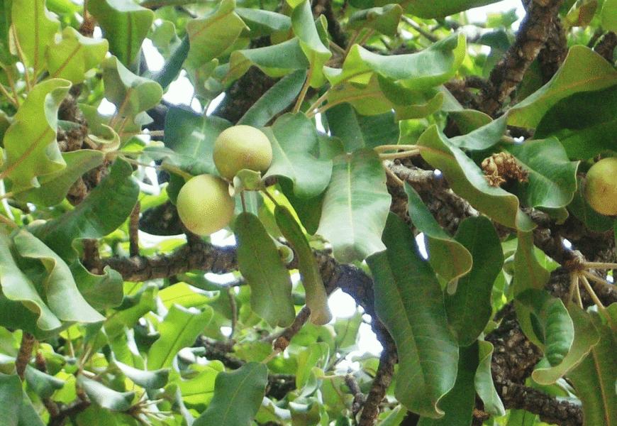 karite-feuilles