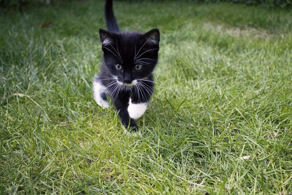 chaton-noir-et-blanc