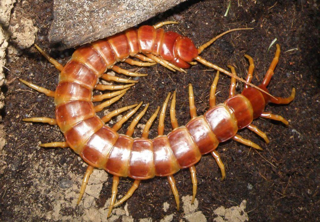 scolopendre-insecte