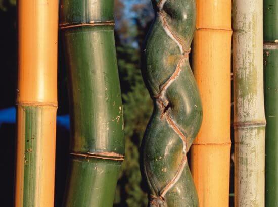 bambou-varietes