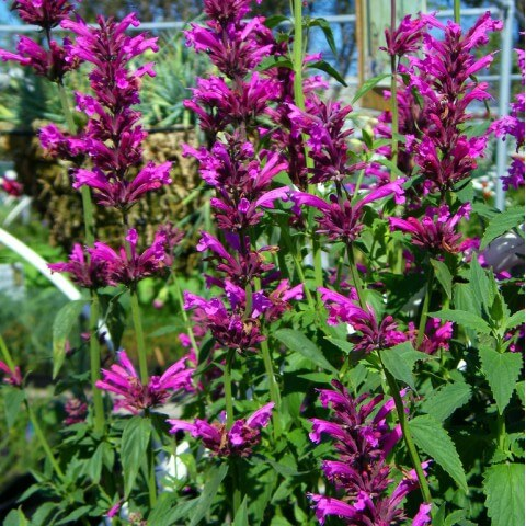 Agastache-Mexicaine