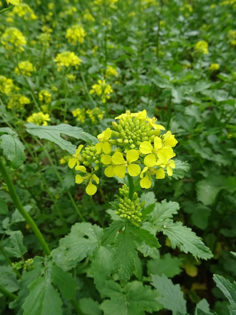 Moutarde-fleur