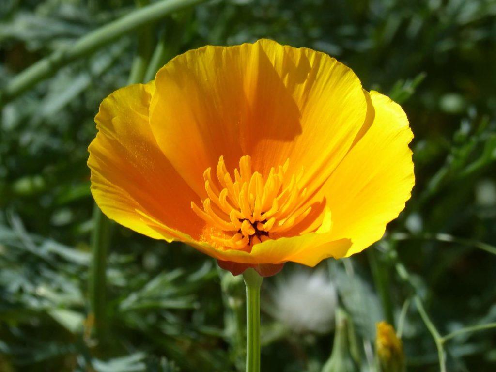 pavot-de-Californie-fleur