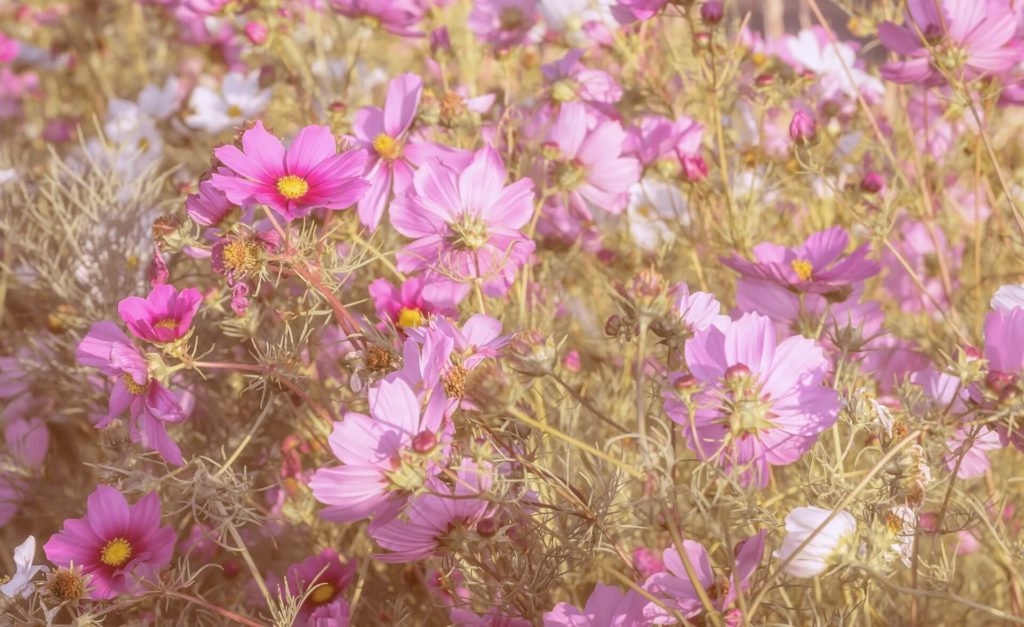 Cosmos-fleurs