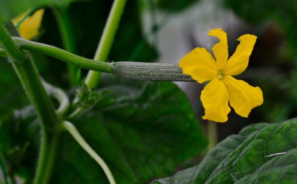 Concombre-fleur