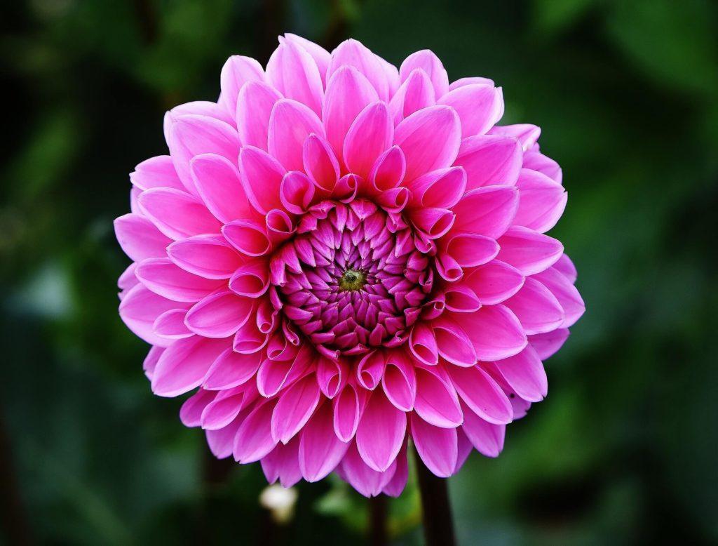 Dahlia-fleur