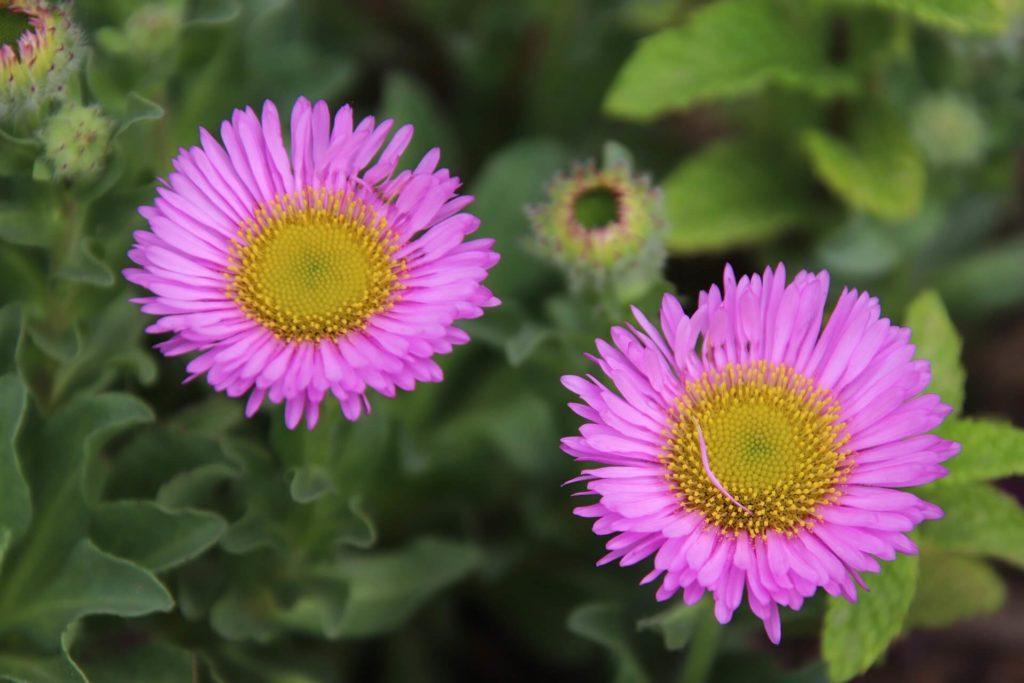 pâquerettes-fleurs