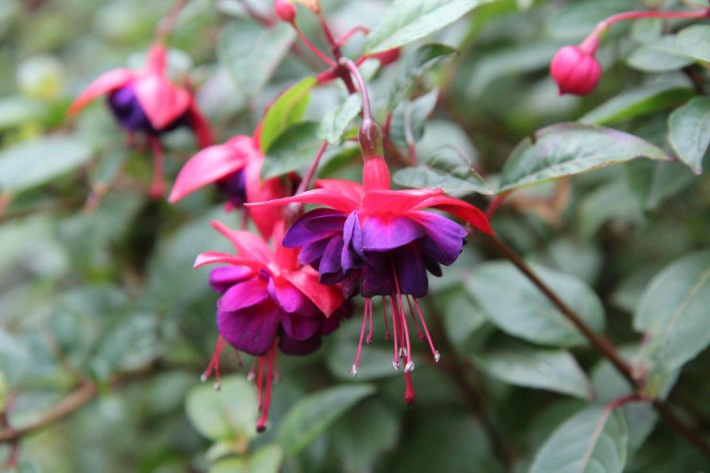 Fushia-fleurs