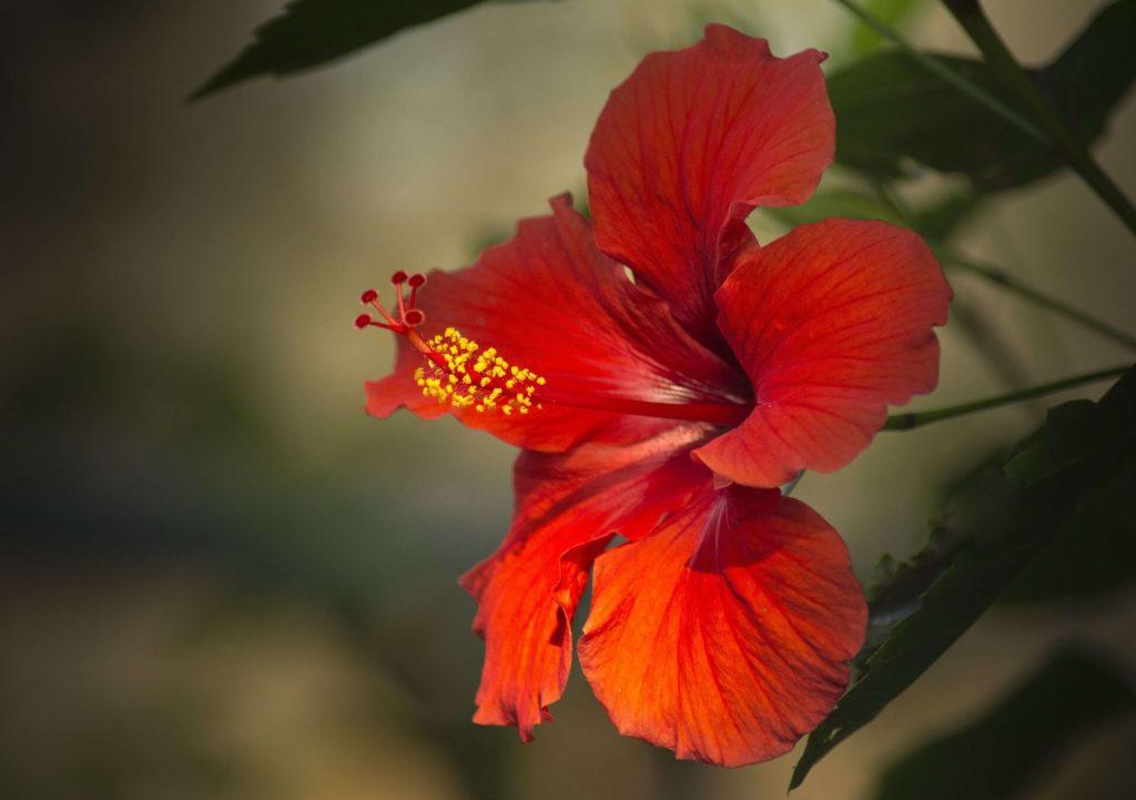 Hibiscus-rouge-fleur