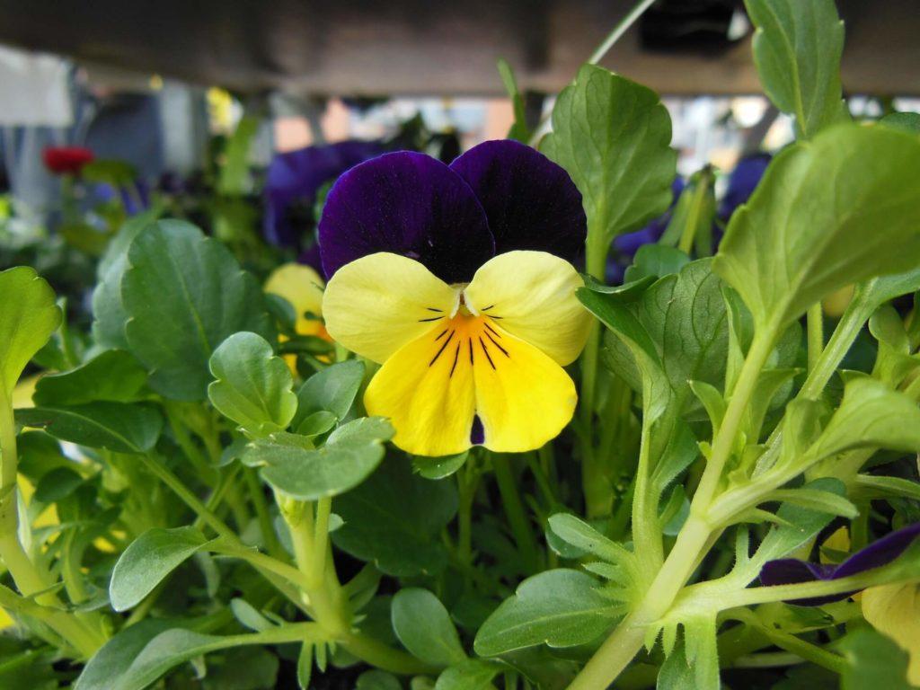 Violette-cornue-fleurs