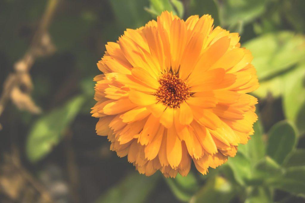 souci-fleur