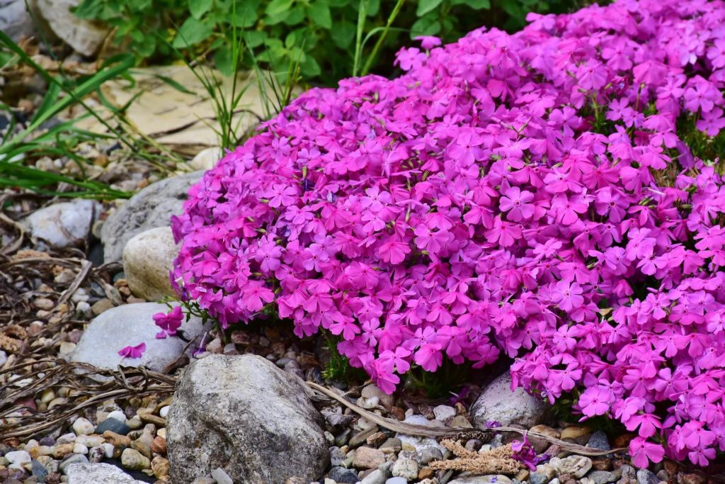 Phlox-fleurs