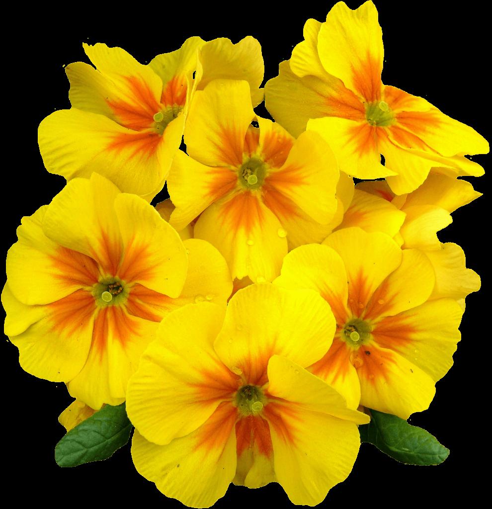 primevères-fleurs-jaunes
